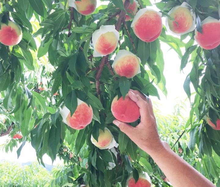 【ももフェア直前企画】日本一の桃の産地山梨から、桃畑をレポート。おいしい桃づくりで大切なのは、木づくり、土づくり、実づくりでした。
