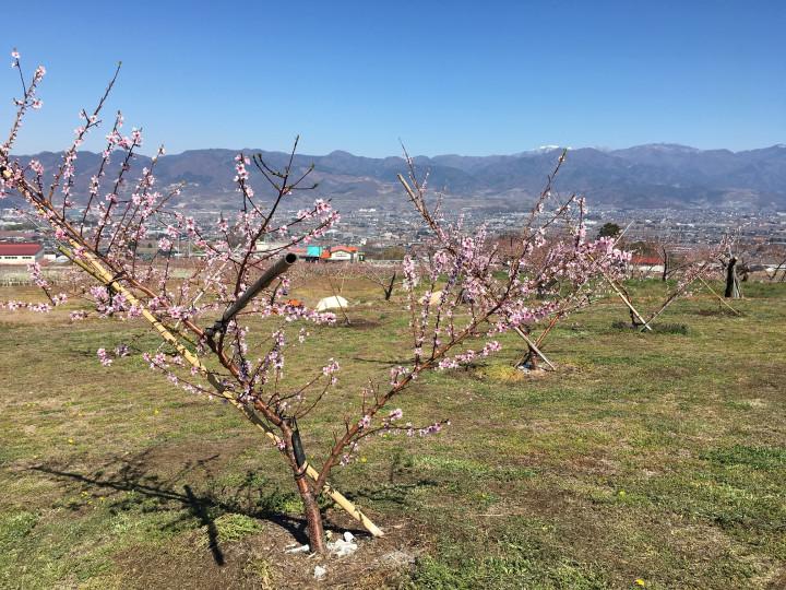 桃づくりの今を取材。桃の花が咲きました