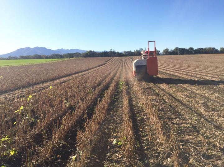 十勝の小豆、ついに収穫。