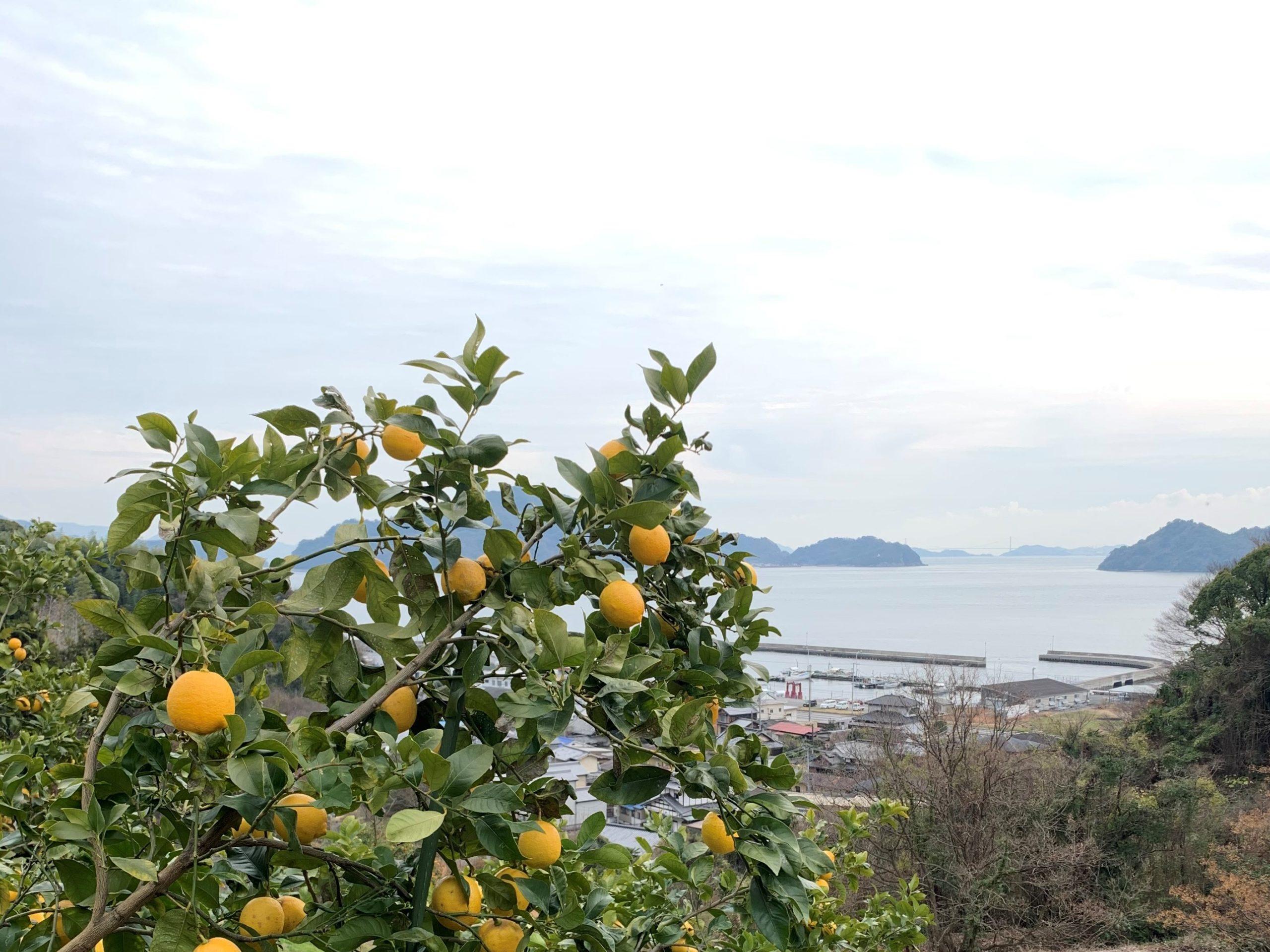 レモン畑_画像